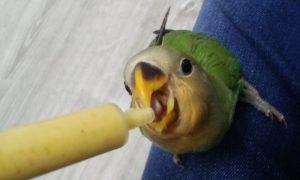Cómo cuidar pájaros papilleros