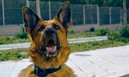 arnés o collar para perros- qué es mejor para mi perro