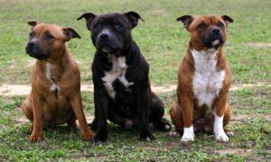Todo lo que debes saber para tener un perro potencialmente peligroso