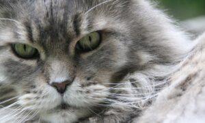 Conoce las razas de gatos domésticos más grandes que existen