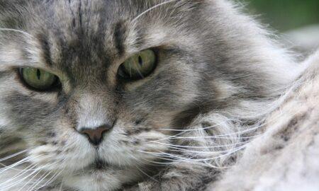 Las razas de gatos domésticos más grandes