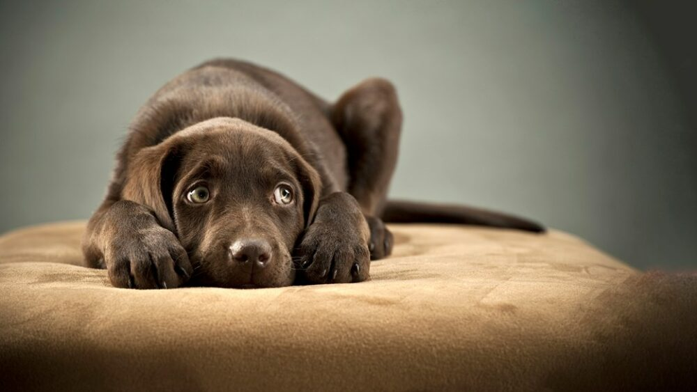 Por qué se produce ansiedad en los perros