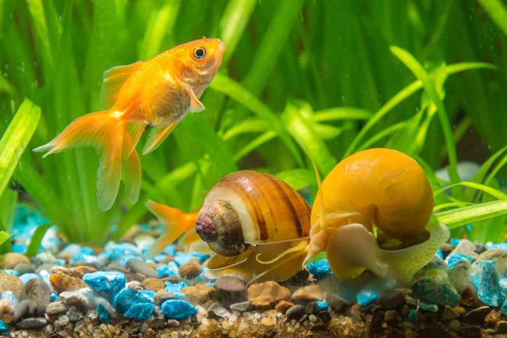 Descubre los beneficios de tener caracoles en el acuario