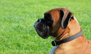Perro Bóxer: características, comportamiento y todo lo que debes saber