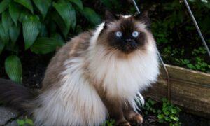Gato himalayo: características, comportamiento y todo lo que debes saber