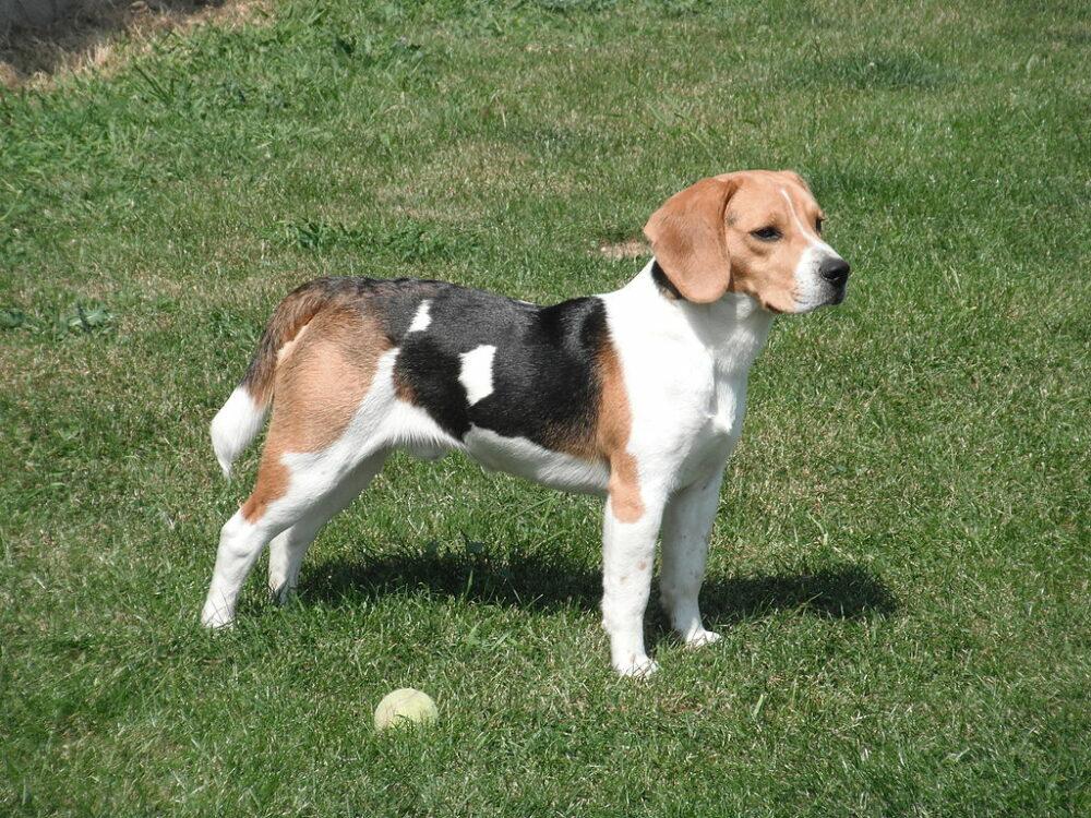 Los Beagle se caracterizan por su tripe color de pelo