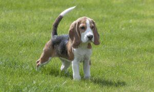 Perro Beagle: características, comportamiento y todo lo que debes saber