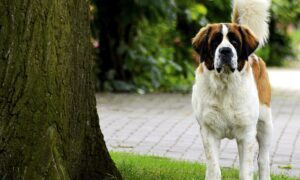 Las 13 razas de perros grandes más bonitos del mundo