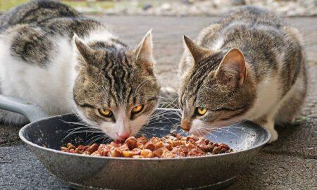 Qué hago si mi gato no come