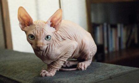 El gato kohana