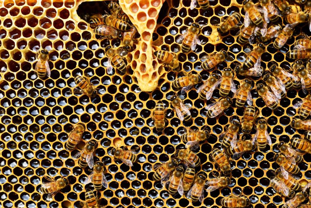 tipos de abejas - datos curiosos sobre las abejas
