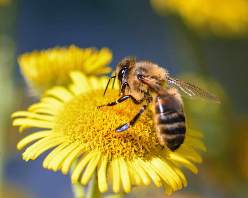 Las abejas son imprescindibles para la vida como la conocemos