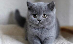 Qué razas de gato sueltan menos pelo