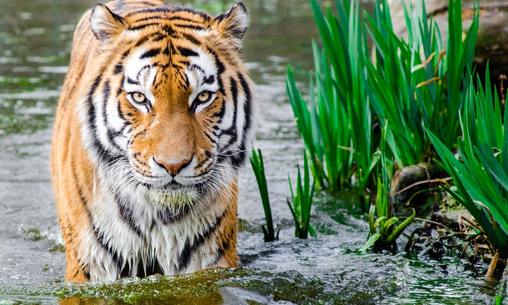 Tigre, un animal que ya ha visto extinguirse varias subespecies