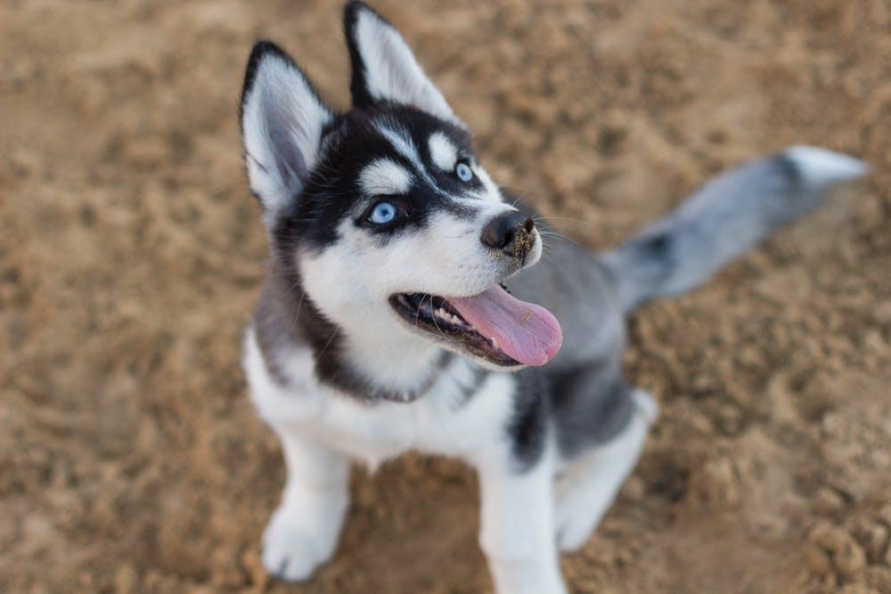 comportamiento perro husky