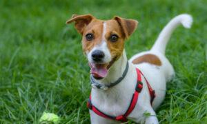 Perro Jack Russell Terrier: características, comportamiento y todo lo que debes saber