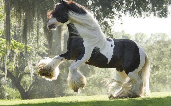 Razas de caballo de tiro - Shire