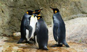 Curiosidades sobre pingüinos: lo que no sabes sobre las aves más raras del planeta