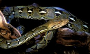 Las 7 serpientes más grandes del mundo que probablemente no conoces