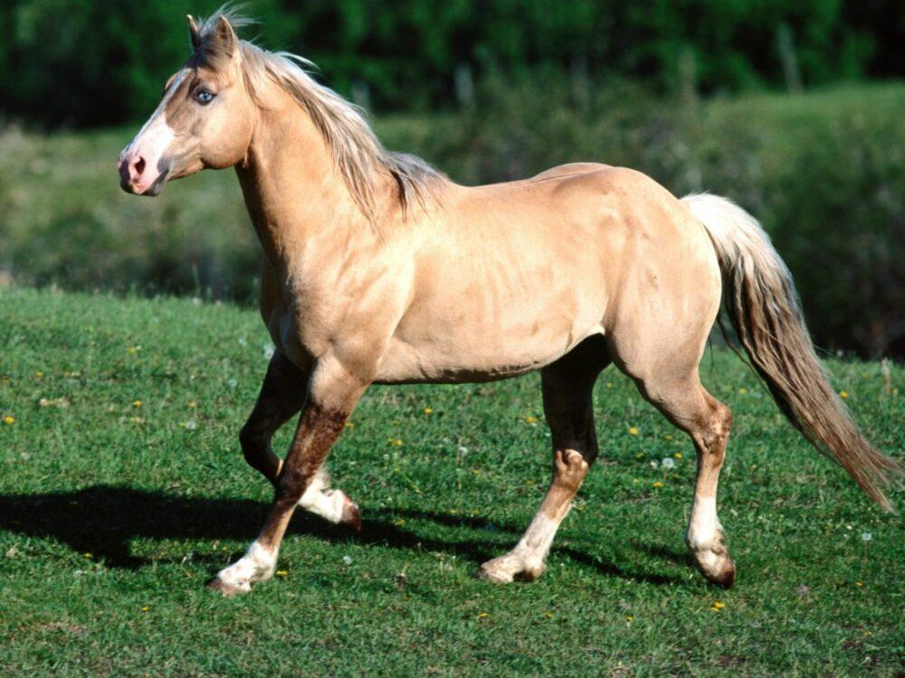 Caballo raza cuarto de milla - mejores razas de caballos según su especialidad