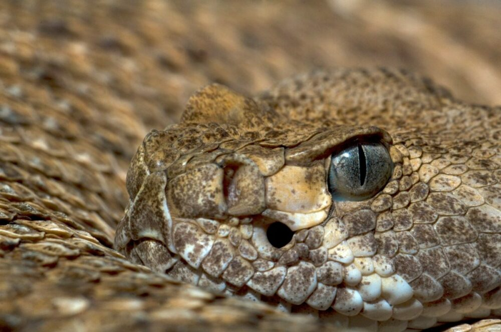 serpientes más venenosas del mundo
