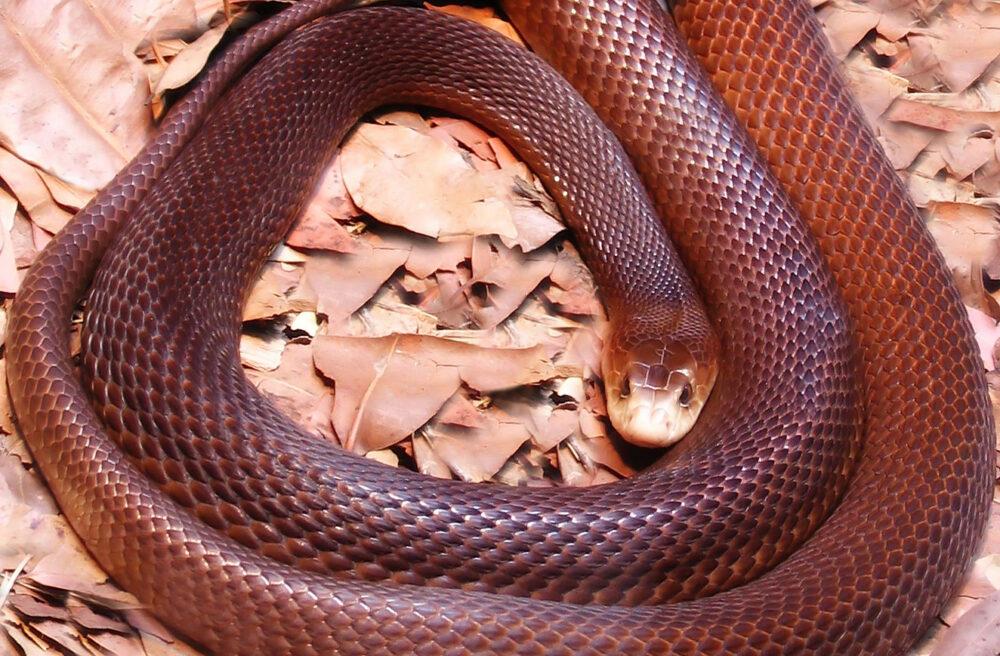 Serpiente taipán de la costa
