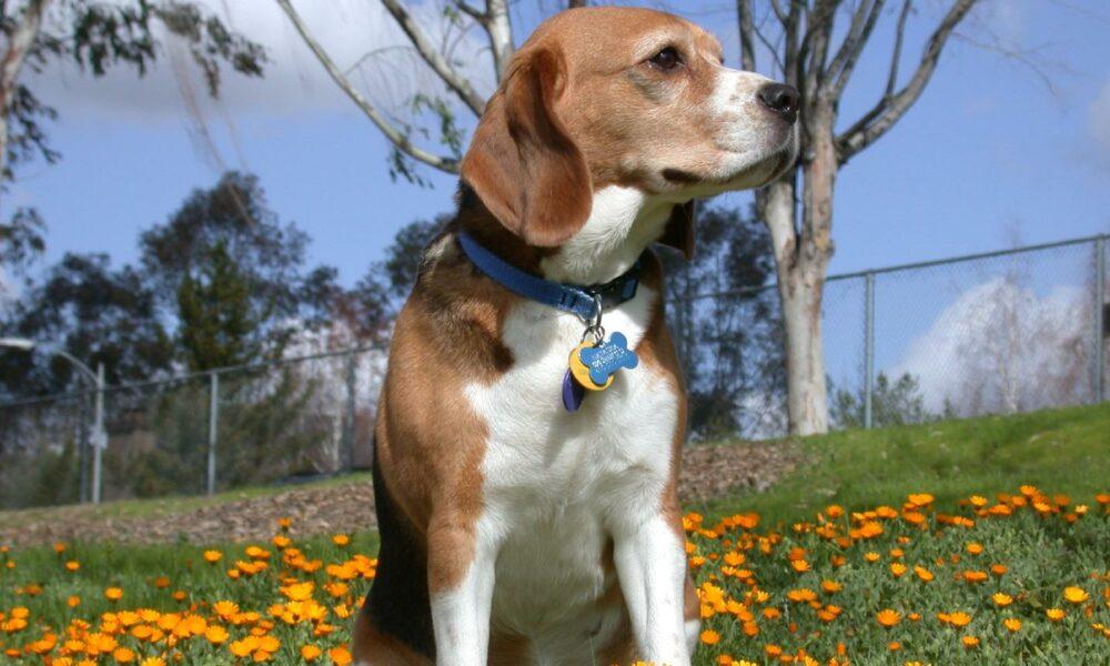 ¿Es bueno que el perro lleve el collar en casa siempre puesto?
